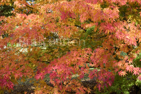 Japanese Maple, Acer Palmatum Elegans - T7