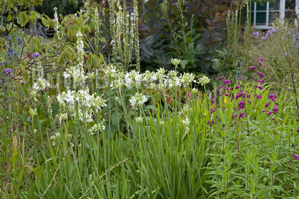 Agapanthus,Penstemons and Verbascum, Green Island Gardens, Essex - N46
