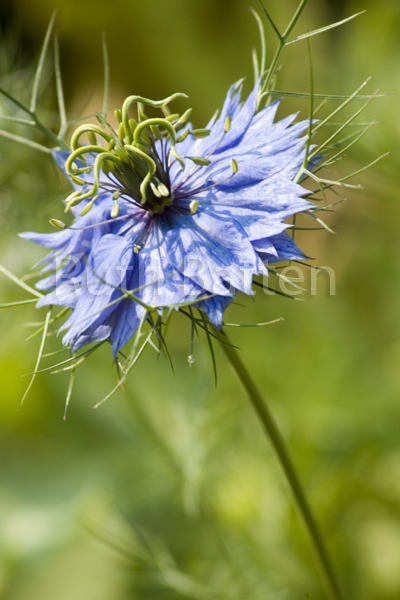 "Nigella damascena ""Miss Jekyll"", Nigella, Love-in-a-mist - B40"