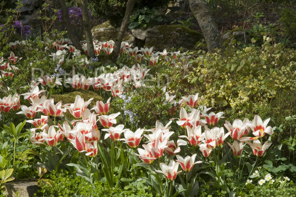 Tulips, Marle Place Gardens, Kent - N65