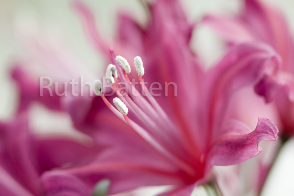 Nerine Flamenco, Nerine, Guernsey Lily - PP190