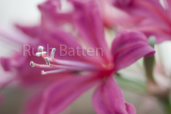 Nerine Flamenco, Nerine, Guernsey Lily - PP192
