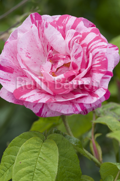 Rosa gallica Versicolor, Rose - PP252