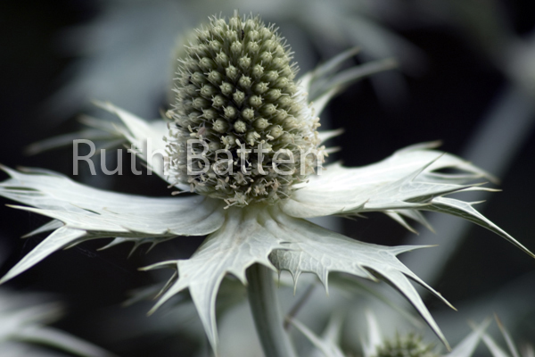 Eryngium alpinum, Sea Holly - G7