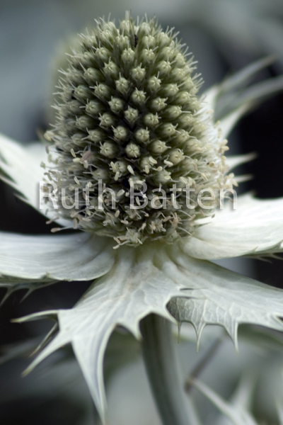 Eryngium alpinum, Sea Holly - G9