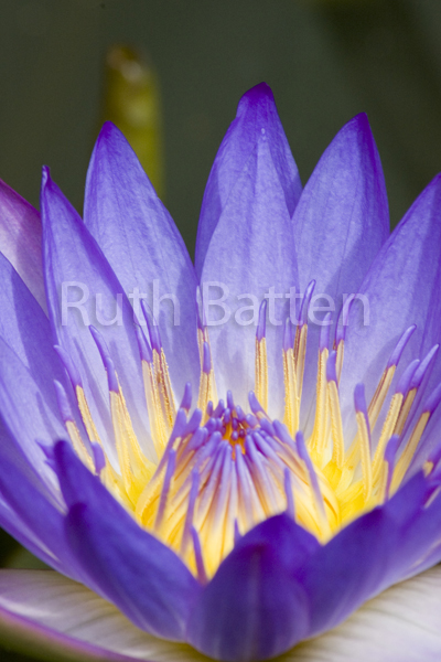 "Nymphaea.""Blue Beauty"", Water Lily - B42"
