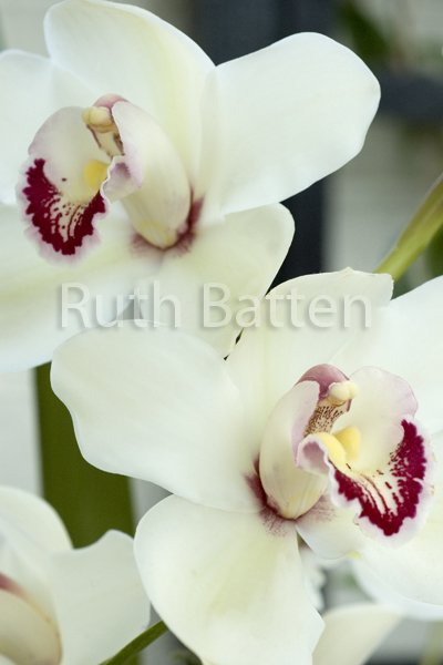 Cymbidium, Orchid - OR13