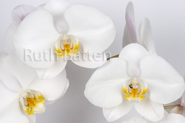 Phalaenopsis, Orchid - OR2