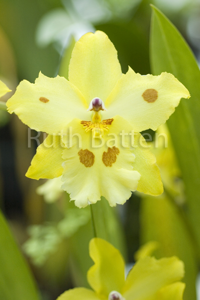 Odontoglossum, Orchid - OR18